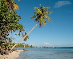 Coconut tree in Manihi