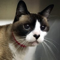 Snowshoe Cat with Deep Infected Wounds