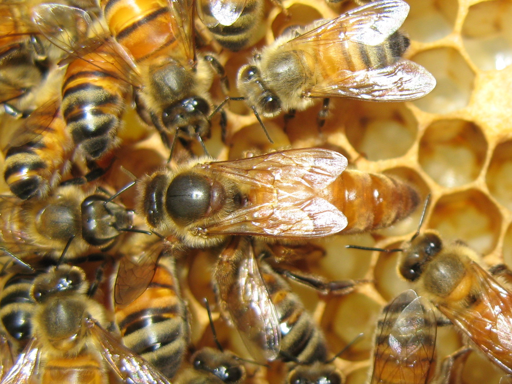 honey bees queen drone and worker with Honeybee Photos on Bie in addition Whats Wrong With My Hive together with 8254457543 97077cd3cc k also Honeybee Photos further PicturesOfBee.
