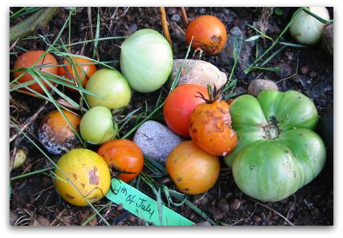 2009_10_24_blog_green_tomatoes