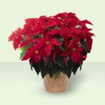 Red Poinsettia Basket from Tammys Floral