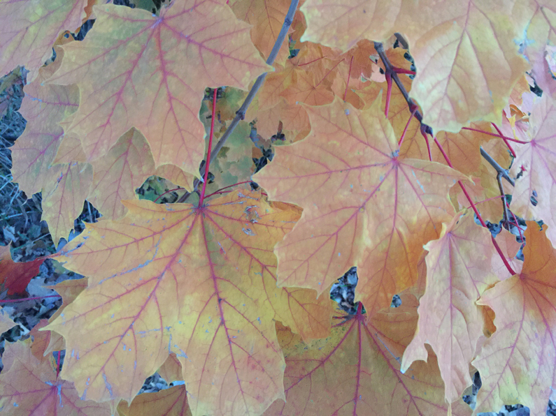 autumn-leaves