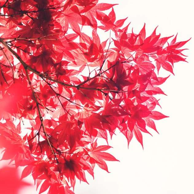 Red_Leaves_Sun_1000x1000