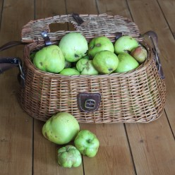 a basket of windfall apples