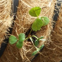 strawberry plug plants in balcony basket