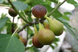 """Brown Turkey"" fig"
