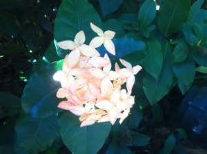 One of the beautiful flowering plants in Jamiaca - Ixora.