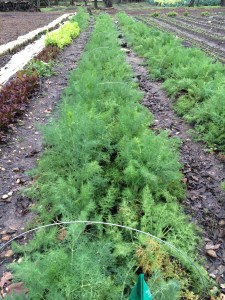 Field of dill.