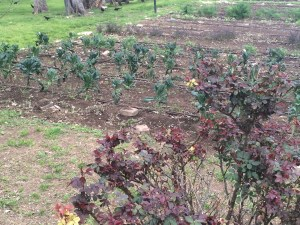 Rose in the foreground, kale in the garden.