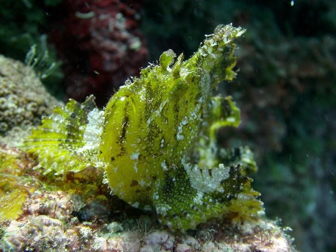 Schaukelfisch, Vilamendhoo, Ari Atoll, Tauchen auf den Malediven
