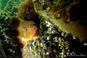 Seehasen, Männchen, Tauchen in der Ostsee, Tauchen in Mecklenburg-Vorpommern