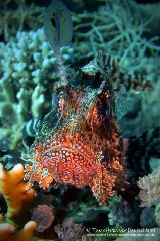 Rotfeuerfisch, lion fish, Tauchen in Safaga, Tauchen in Ägypten, Tauchen im Roten Meer
