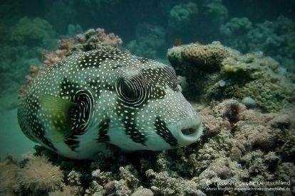 Weissfleck-Kugelfisch, white spotted Puffer, Tauchen in Safaga, Tauchen in Ägypten, Tauchen im Roten Meer