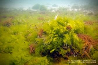 Algenwiese, Tauchen in der Ostsee, Tauchen in Mecklenburg-Vorpommern