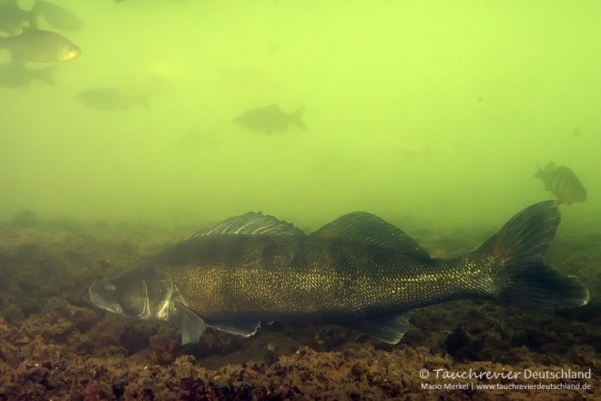 Zander (Sander lucioperca), Tauchen im Kalksee, Tauchen in Deutschland