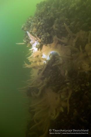 Torpedo, Schwamm, Tauchen im Tollensesee, Tauchen in Mecklenburg-Vorpommern