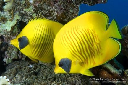 Maskenfalter, ORCA Dive Club Safaga, Tauchen in Safaga, Tauchen in Ägypten