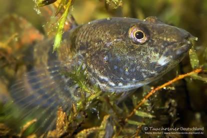 Marmorierte Süßwassergrundel (Proterorhinus semilunaris), Neozoen, Fischfauna, Tauchen in Deutschland