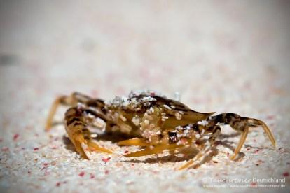Krabbe, Flora und Fauna in Mexico, Tauchen Cenoten