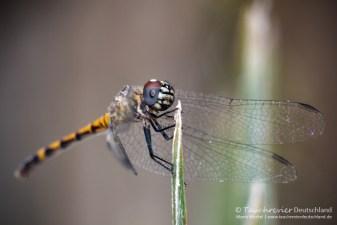 Libelle, Flora und Fauna in Mexico, Tauchen Cenoten