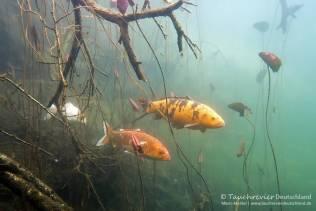 Koi, Farbkarpfen, Cyprinus carpio, Karpfenfische, Tauchen in Deutschland