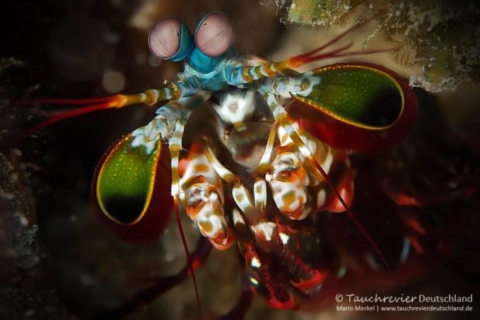 Fangschreckenkrebs, Tauchen auf Maurtius, Tauchrevier Deutschland auf Reisen