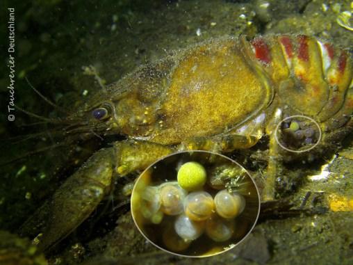 Flußkrebs mit Eigelege