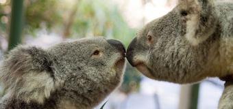 Travel Australia Lone Pine Koala Sanctuary