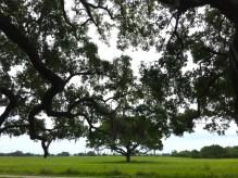 NOLA 1812 battlefield tree
