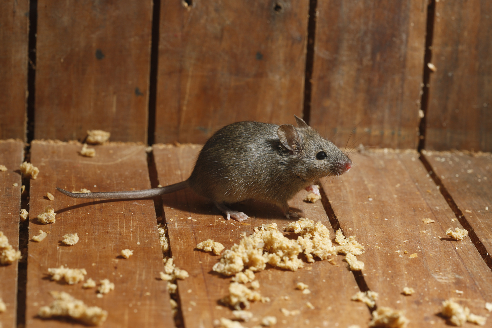 Admirable Walls Reddit Mice Walls But No Droppings Mice Pest Control Mice Pest Control Mouse Removal Mice houzz-03 Mice In Walls