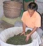 tea-worker