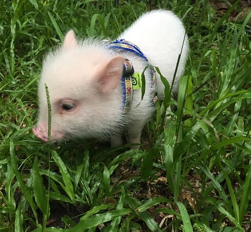 Leash train your piglet