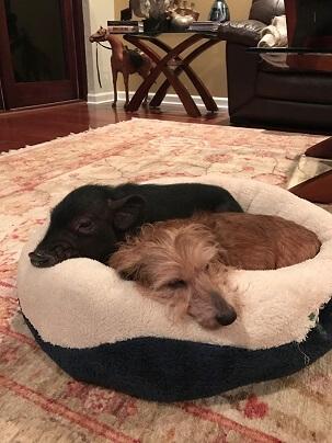 dog & pig