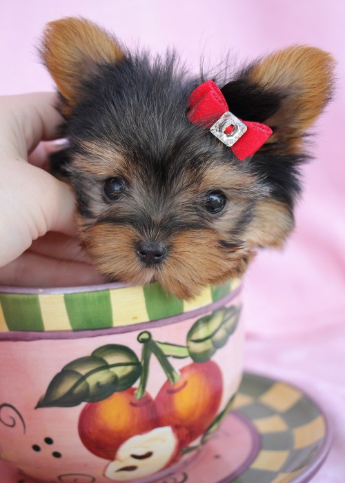 Medium Of Teacup Yorkie Poo