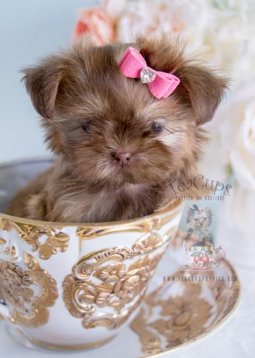 Teacup Shih Tzu In Masterly Shih Tzu Puppies South Florida Tiny Type