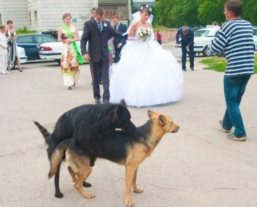 Dogs Humping at Wedding: Funny Wedding Photos, wedding photography, worst wedding pictures, wedding disasters, wedding announcements, engagement announcements, awful wedding pictures, horrible, stupidity, ugly wedding dresses bridesmaid dresses