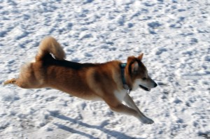 I couldn't find any pictures of me running, so here's a picture of my dog running. She actually has evolved to run barefoot.