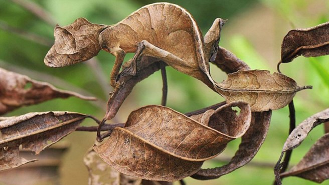 Gecko Camouflage