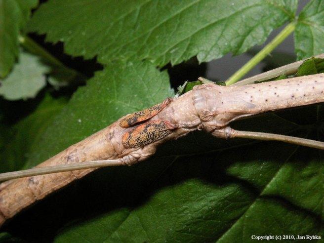 Phasmatodea camouflage