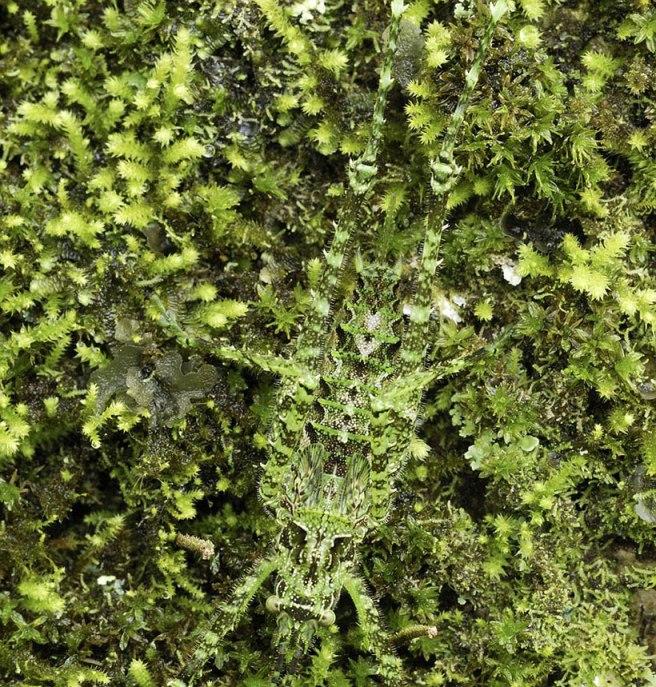 Tettigoniidae camouflage