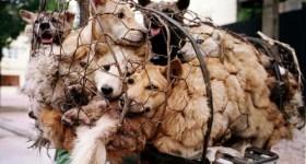 Yulin dogs