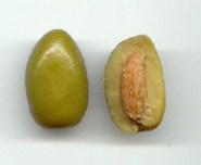 Partes del fruto - aceitunas