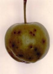 Fusicladium dentriticum en Manzana - Fusicladium virescens en Pera