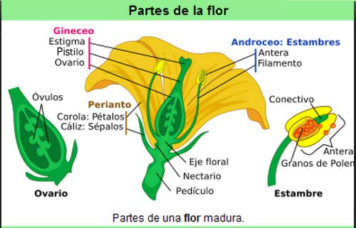 partes-flor2.jpg