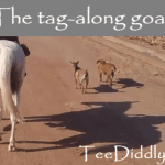 The tag-along goat