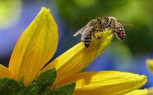 Канарская пчела