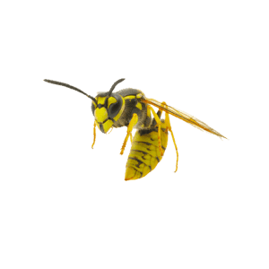 wasp_1