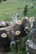 The soothing sound of cow bells