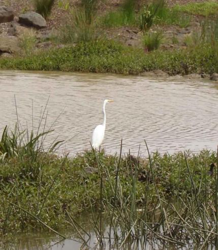 Great-Egret-a distinctive white bird, stands on the edge of the pond