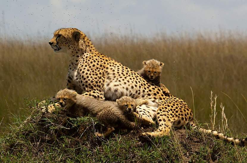 cheetah, african safaris, kenya